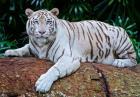 Biały tygrys - wyjątkowy przedstawiciel wielkich kotów