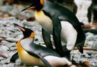Chociaż pingwiny także nie