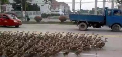 Kaczki na ulicy