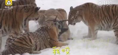 Tygrysy vs. dron