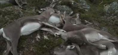 Renifery zabite przez piorun