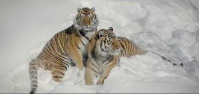 Spotkanie dronów z tygrysami
