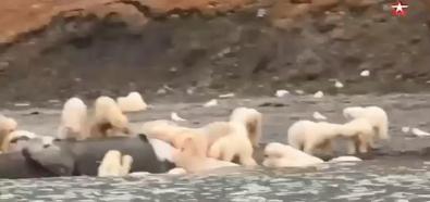 Niedźwiedzie polarne na uczcie