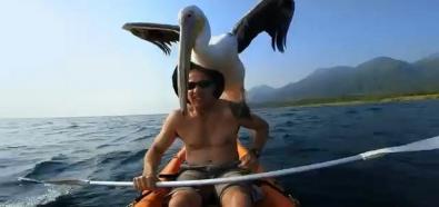 Pelikan i człowiek