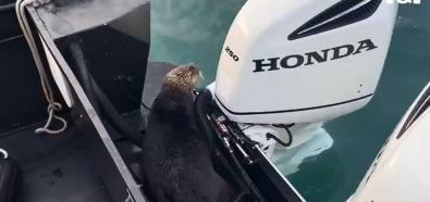 Ucieczka wydry przed orką