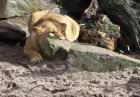 Lwica vs. kaczka