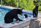 Niedźwiedzie w basenie