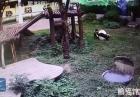 Zapasy pandy z turystą
