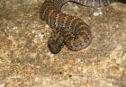 Świat, nauka, zwierzęta, ciekawoski - najbardziej jadowite węże